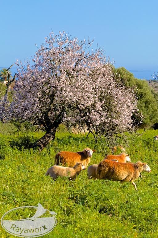 Mandelbaum Schafe Mallorca